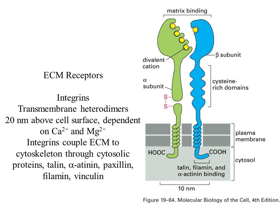Transmembrane heterodimers
