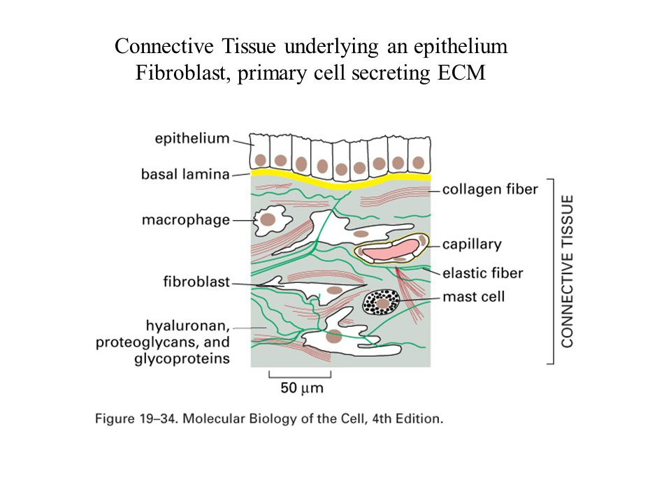 Connective Tissue underlying an epithelium