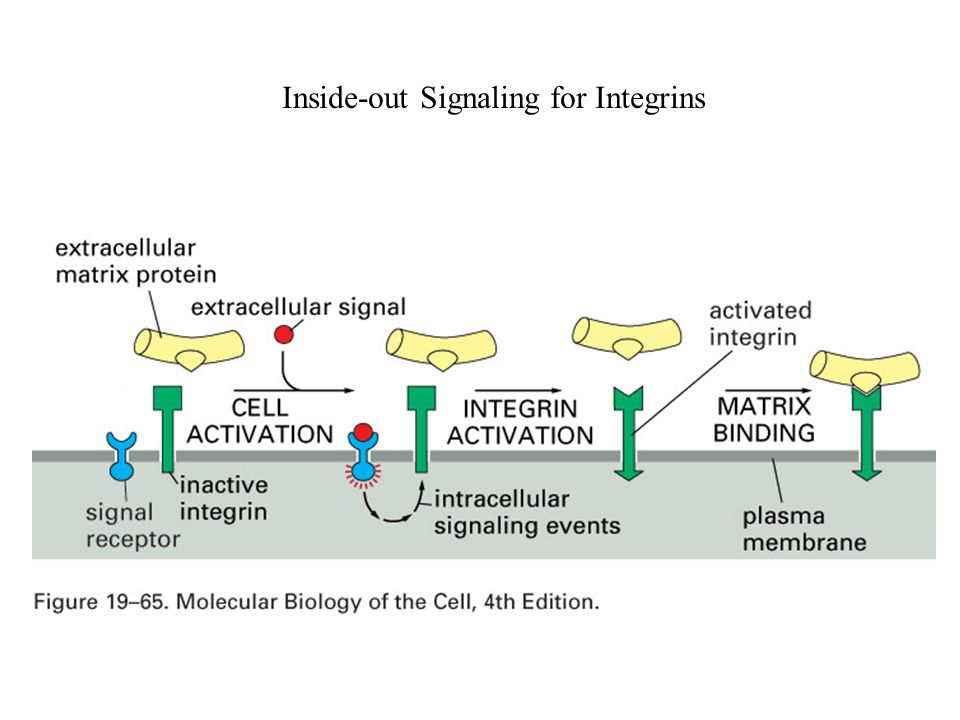 Inside-out Signaling for Integrins