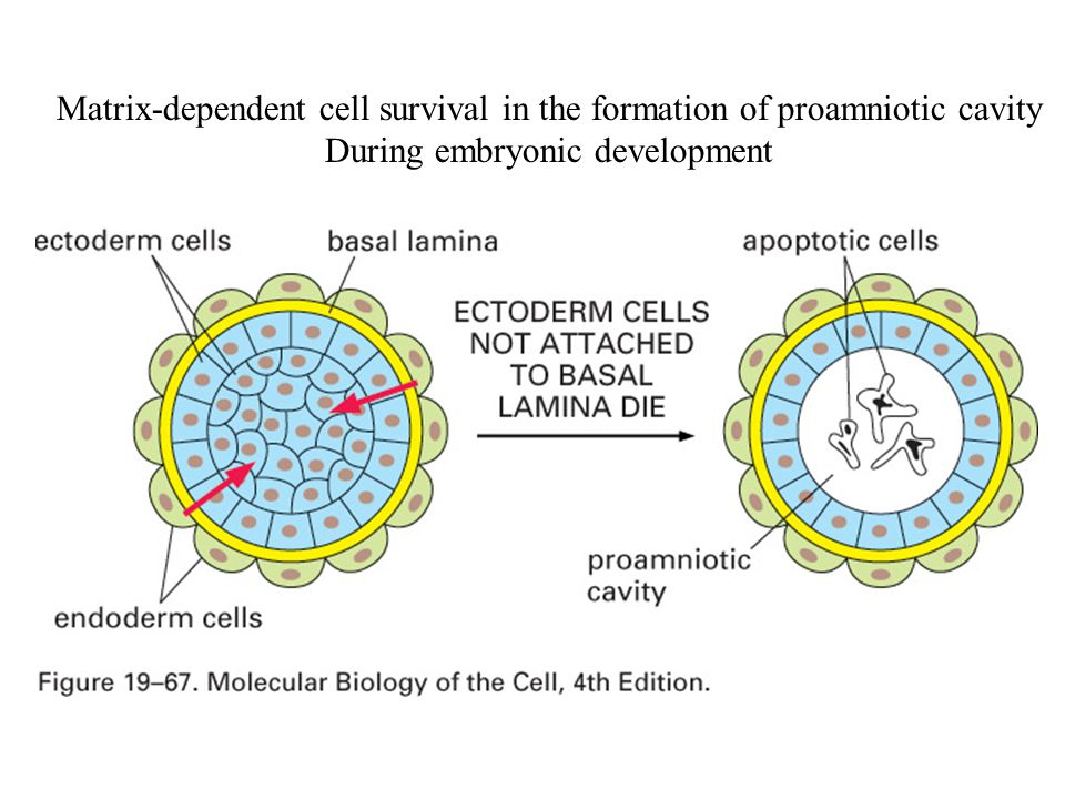 Matrix-dependent cell survival in the formation of proamniotic cavity
