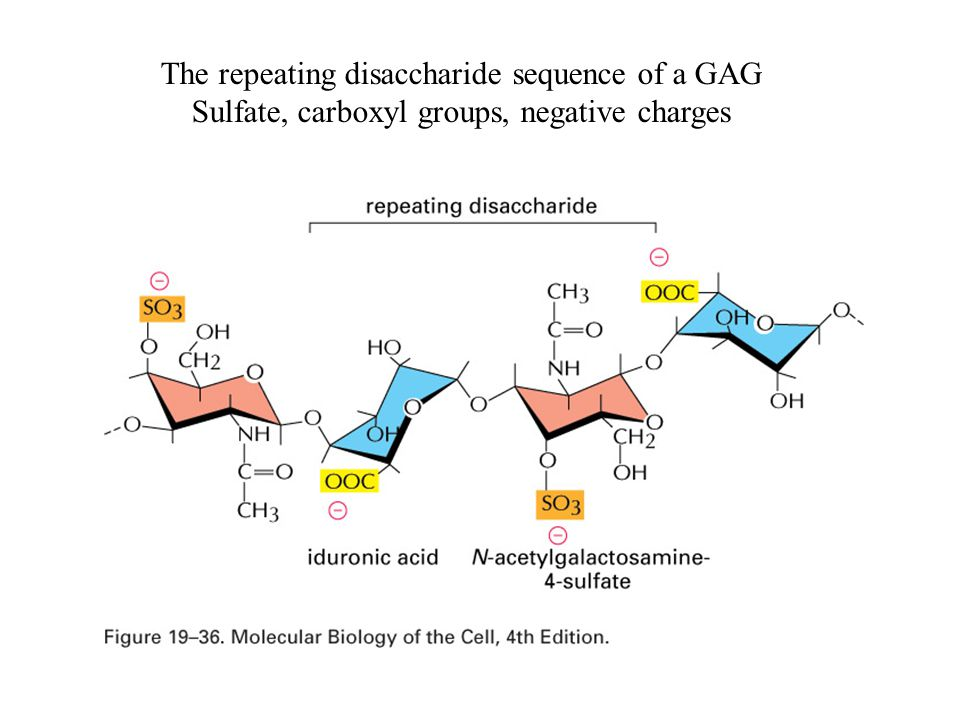 The repeating disaccharide sequence of a GAG