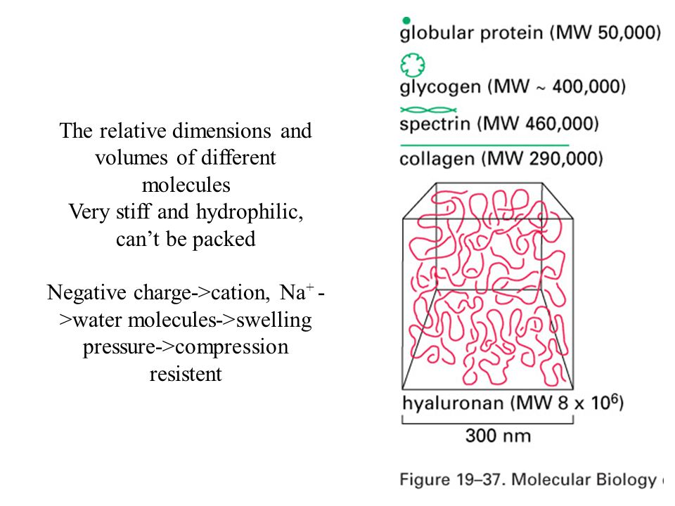 The relative dimensions and volumes of different molecules