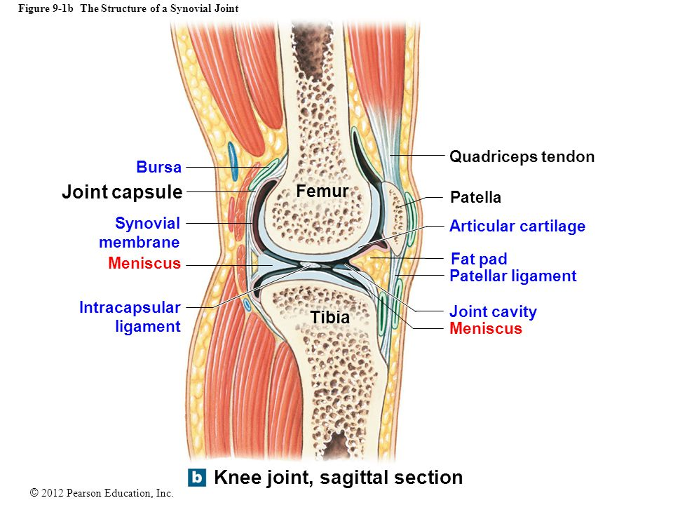 Figure 9-1b The Structure of a Synovial Joint