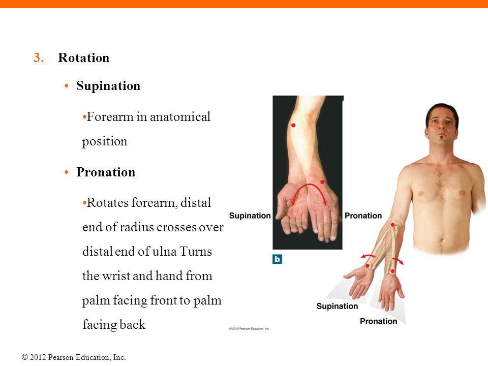 Rotation Supination. Forearm in anatomical position. Pronation.