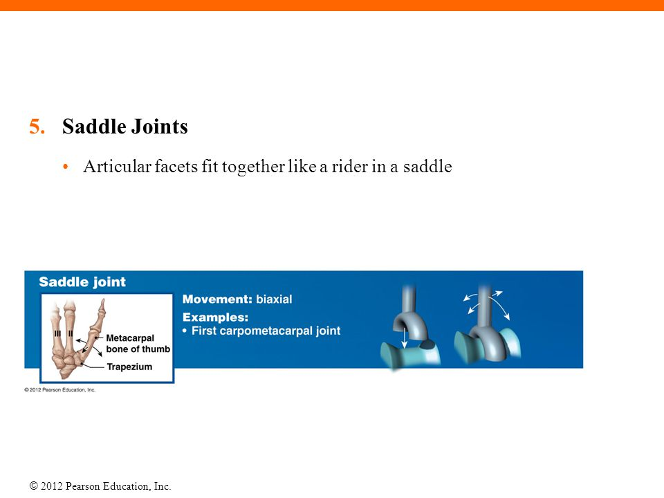 Saddle Joints Articular facets fit together like a rider in a saddle