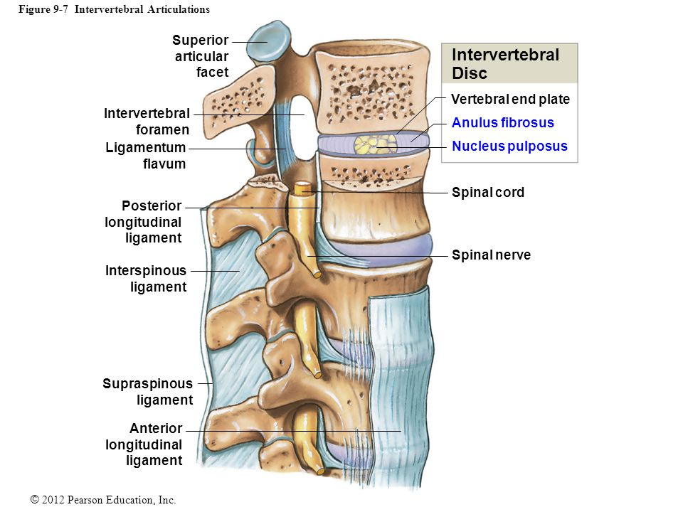 Figure 9-7 Intervertebral Articulations