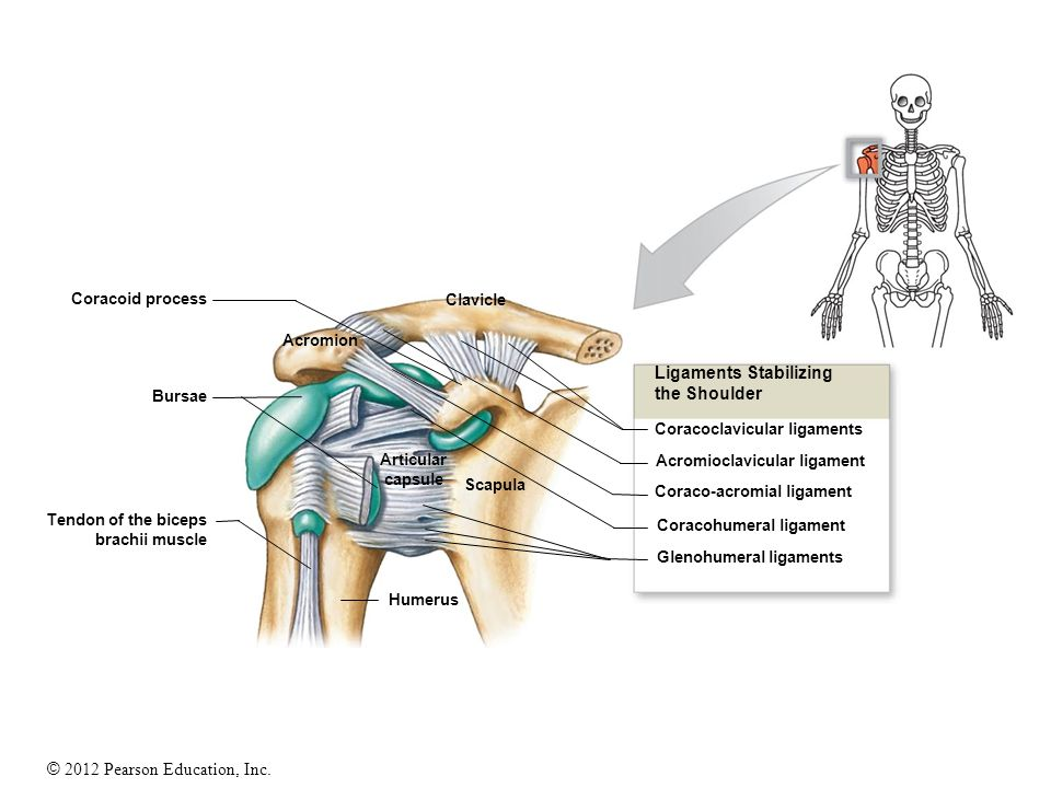Ligaments Stabilizing the Shoulder