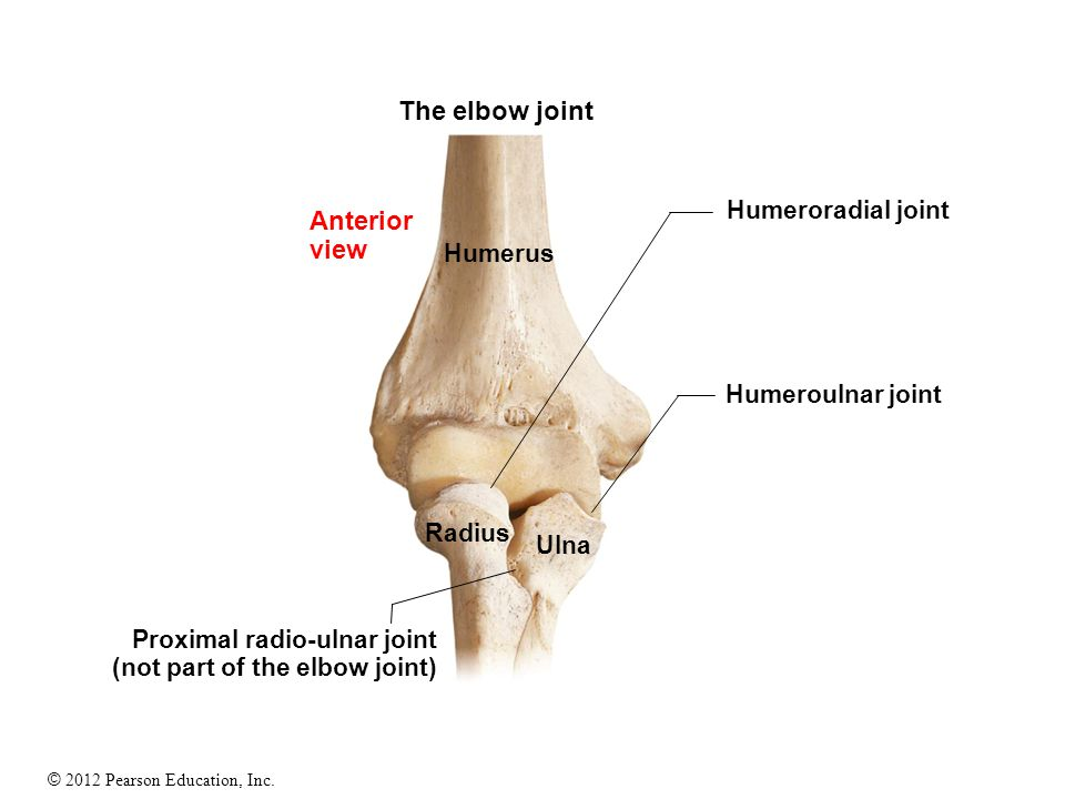 The elbow joint Anterior view Humeroradial joint Humerus