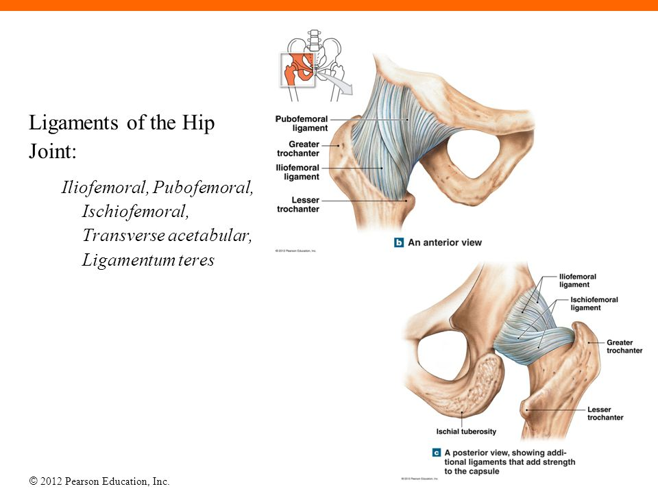 Ligaments of the Hip Joint: