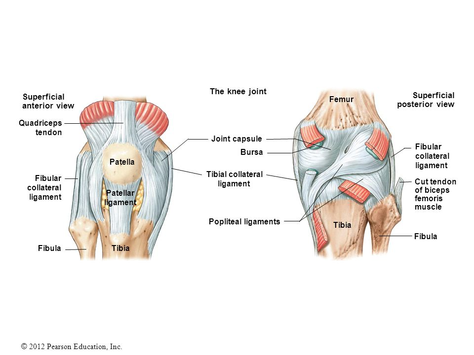 The knee joint Superficial Superficial anterior view posterior view