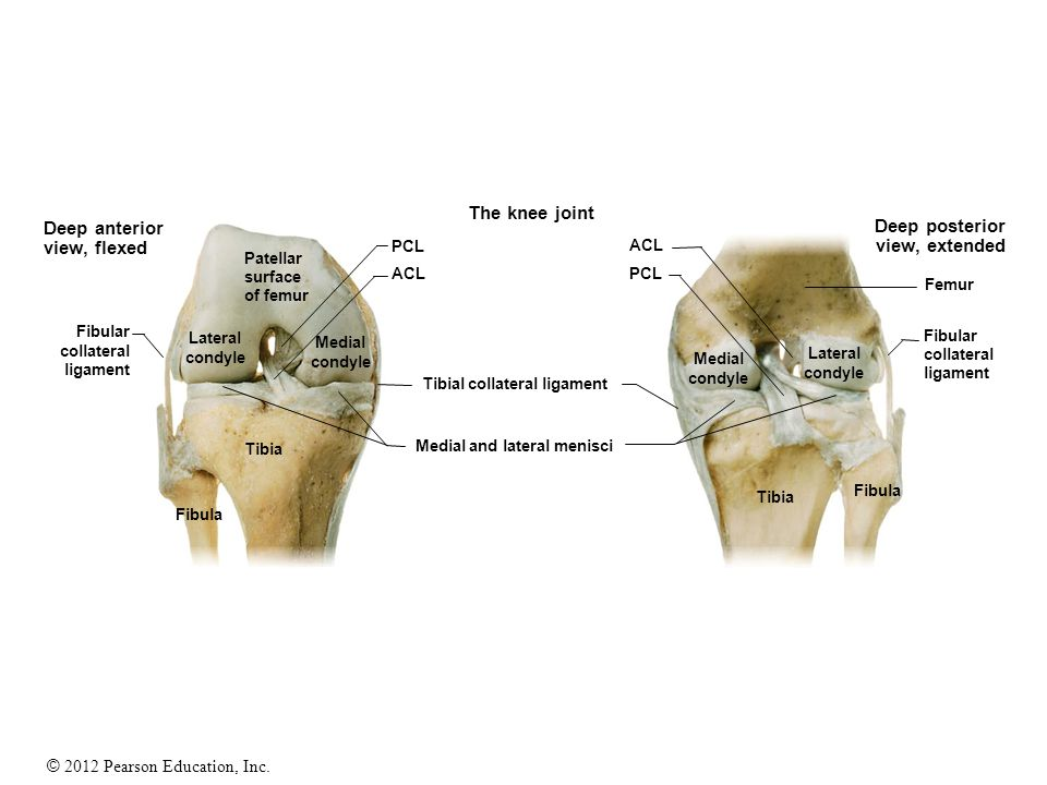 The knee joint Deep anterior Deep posterior view, flexed
