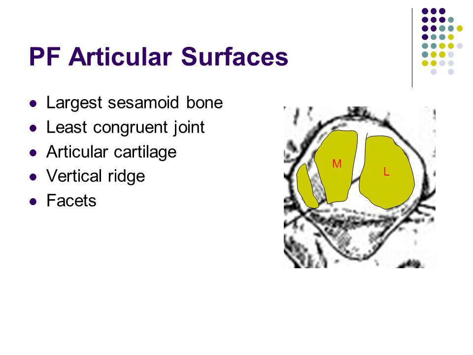 PF Articular Surfaces Largest sesamoid bone Least congruent joint