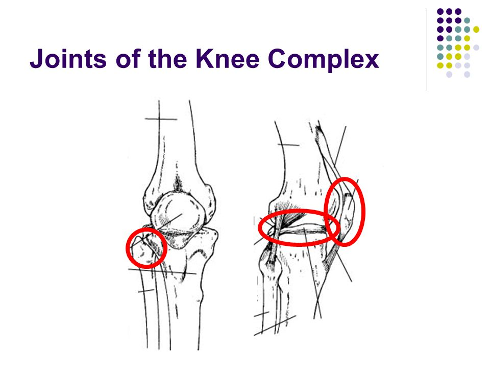 Joints of the Knee Complex
