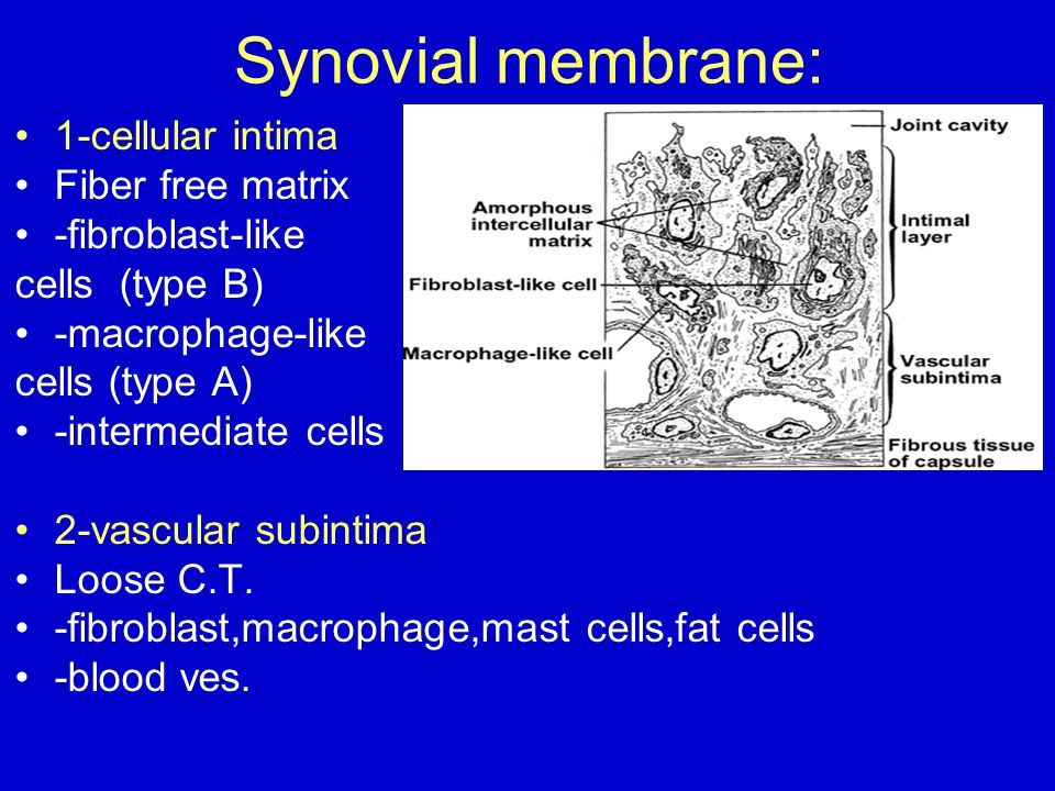 Synovial membrane: 1-cellular intima Fiber free matrix