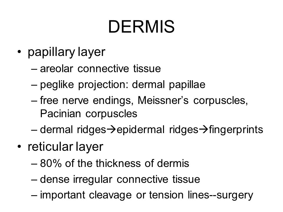 DERMIS papillary layer reticular layer areolar connective tissue