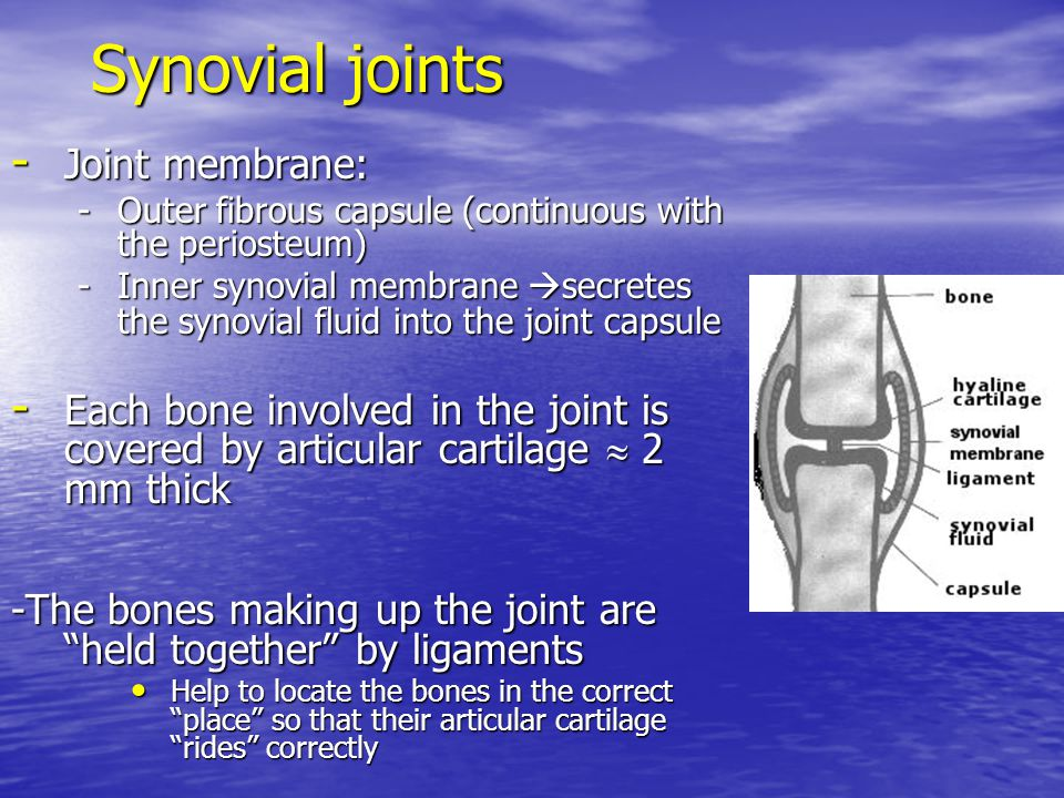 Synovial joints Joint membrane: