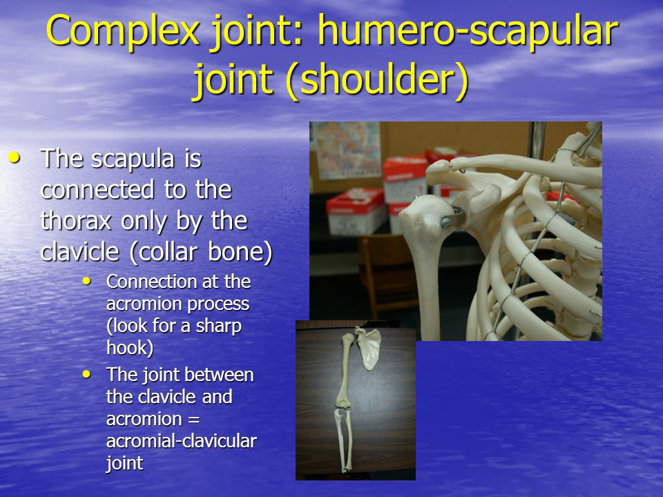 Complex joint: humero-scapular joint (shoulder)