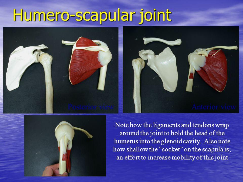 Humero-scapular joint