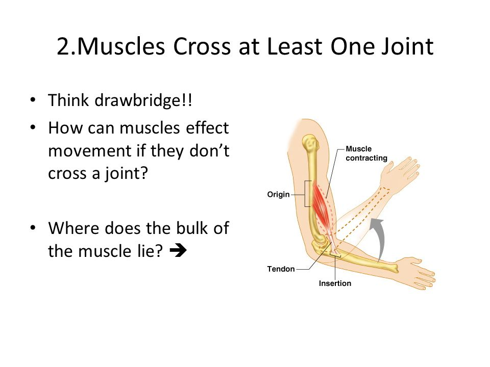 2.Muscles Cross at Least One Joint