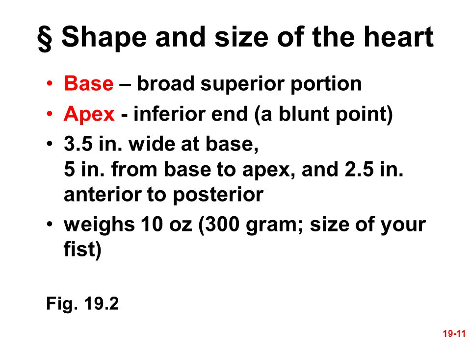 § Shape and size of the heart