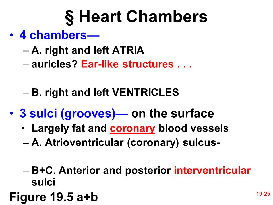 § Heart Chambers 4 chambers— 3 sulci (grooves)— on the surface