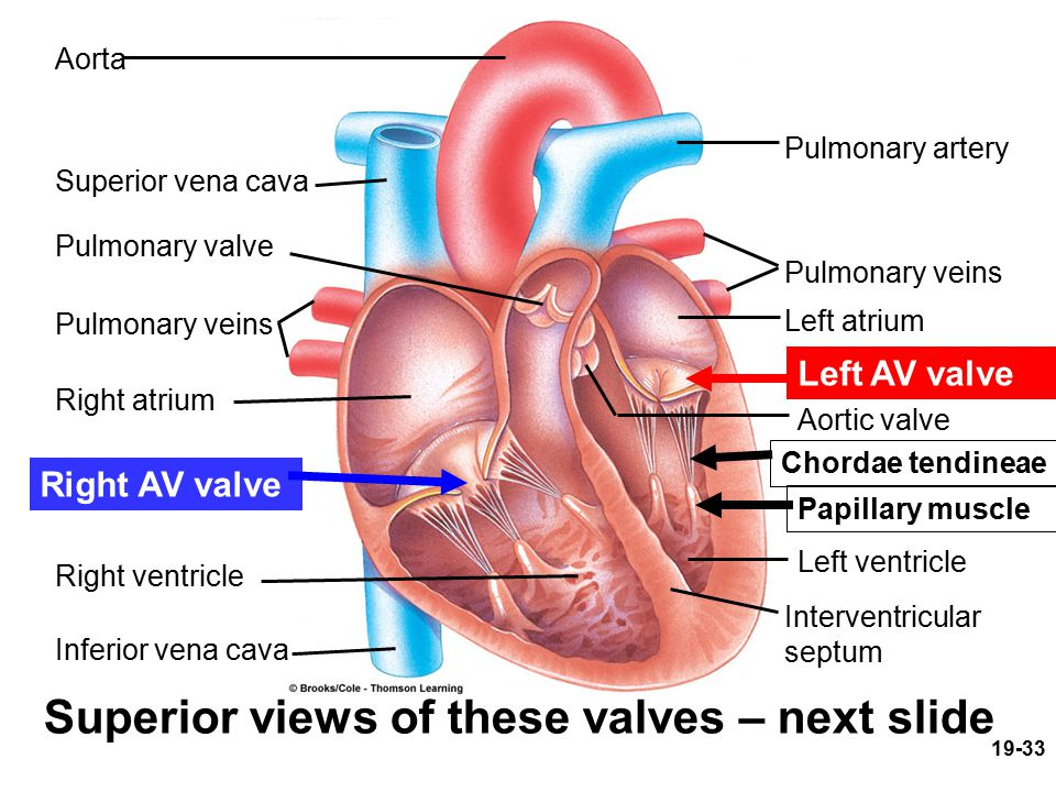 Superior views of these valves – next slide