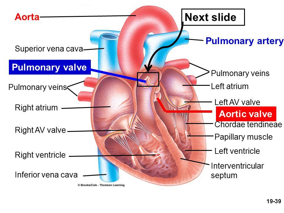Next slide Aorta Pulmonary artery Pulmonary valve Aortic valve