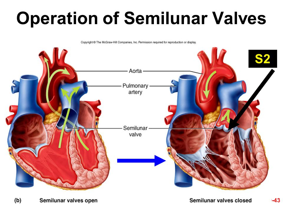 Operation of Semilunar Valves