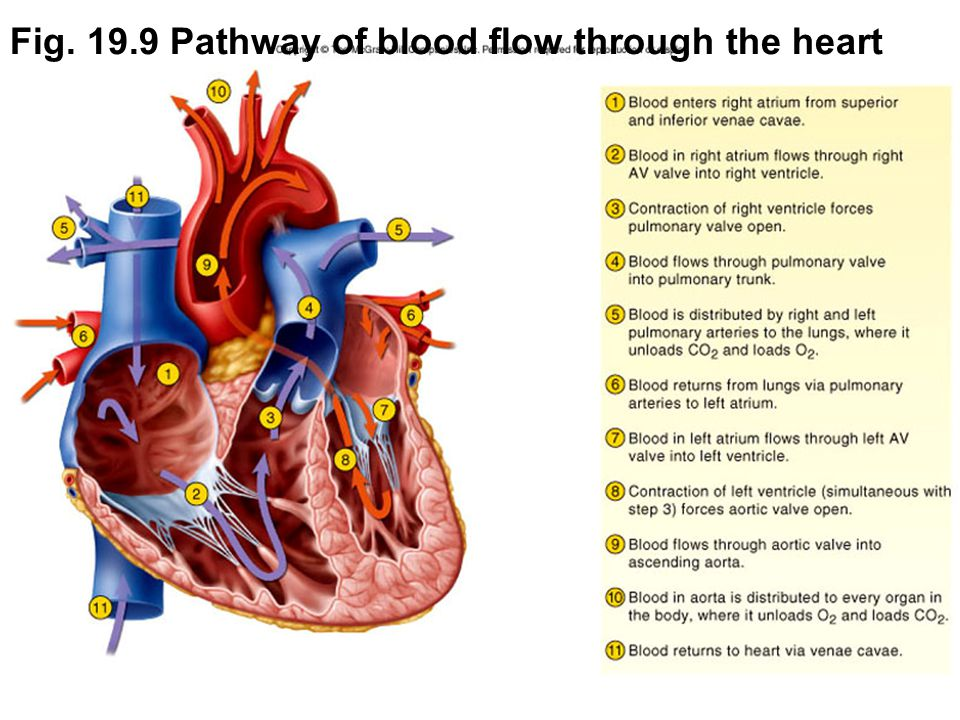 Fig. 19.9 Pathway of blood flow through the heart