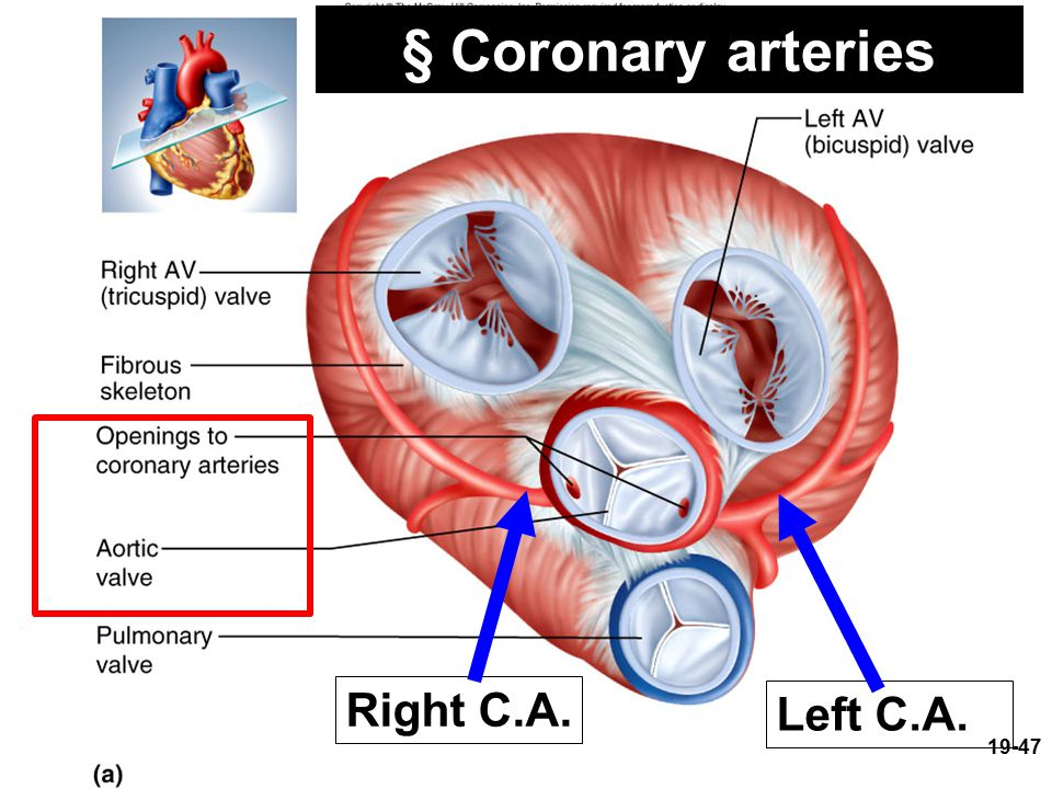 § Coronary arteries Right C.A. Left C.A.