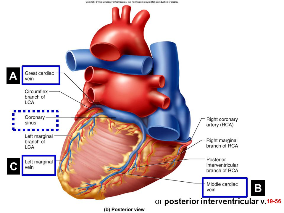 A C B or posterior interventricular v.