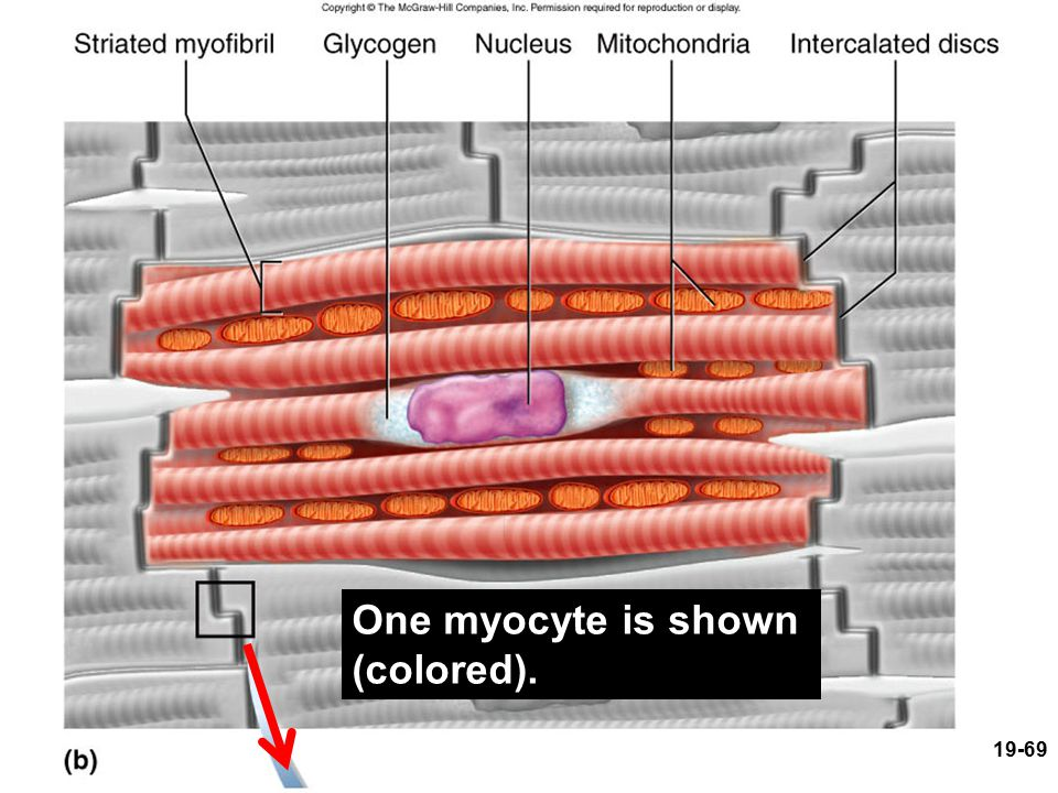 One myocyte is shown (colored).