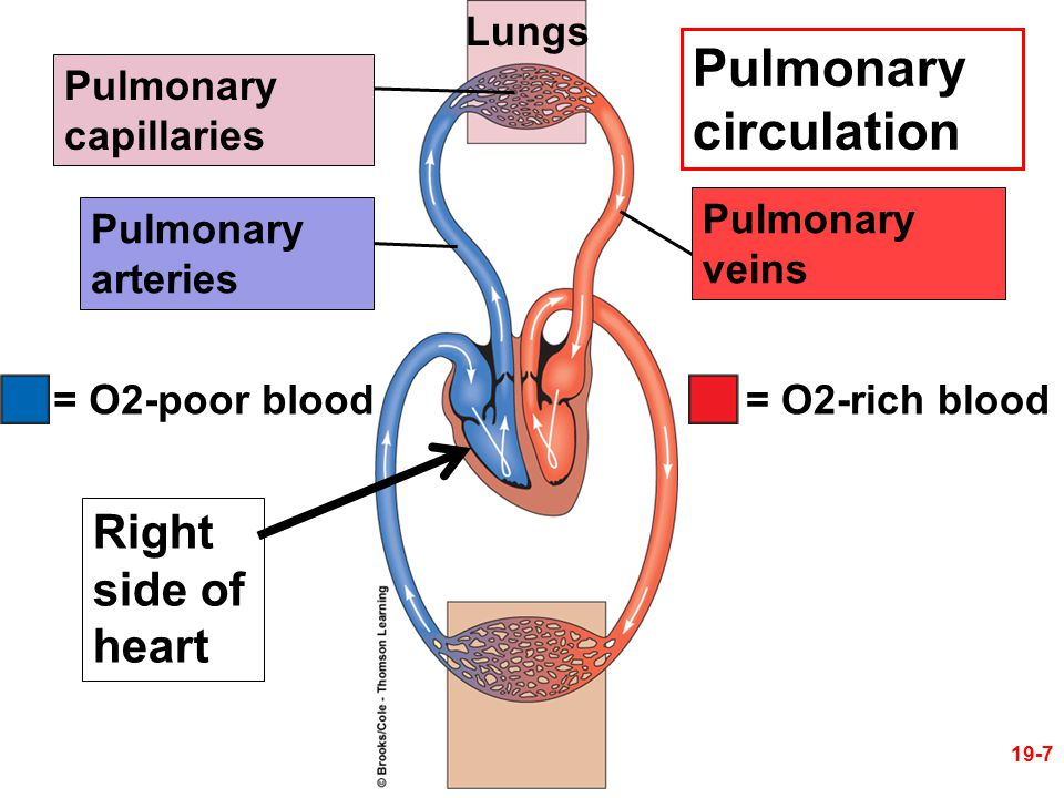 Pulmonary circulation Right side of heart Lungs Pulmonary capillaries