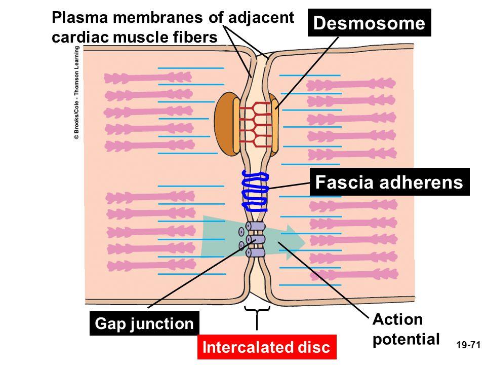 Desmosome Fascia adherens Plasma membranes of adjacent