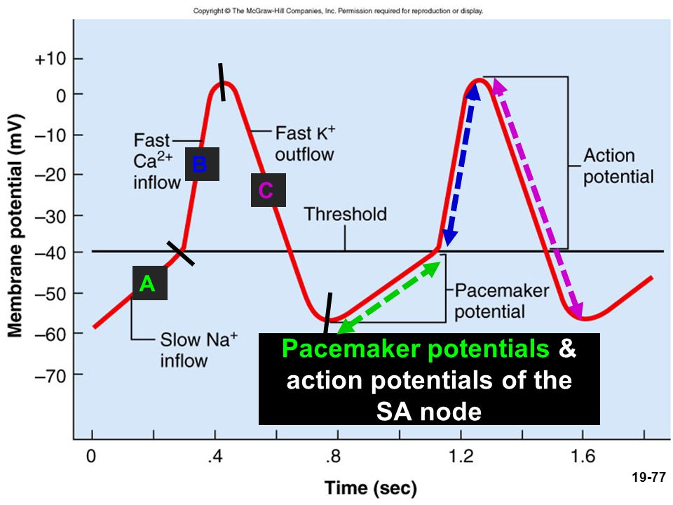 Pacemaker potentials & action potentials of the SA node