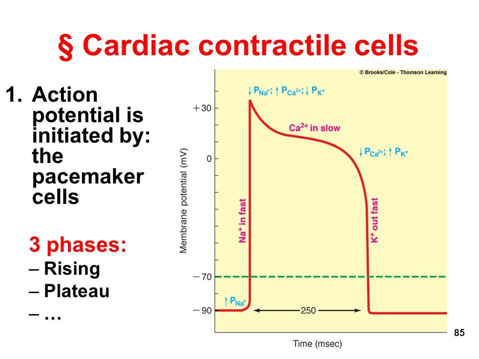§ Cardiac contractile cells