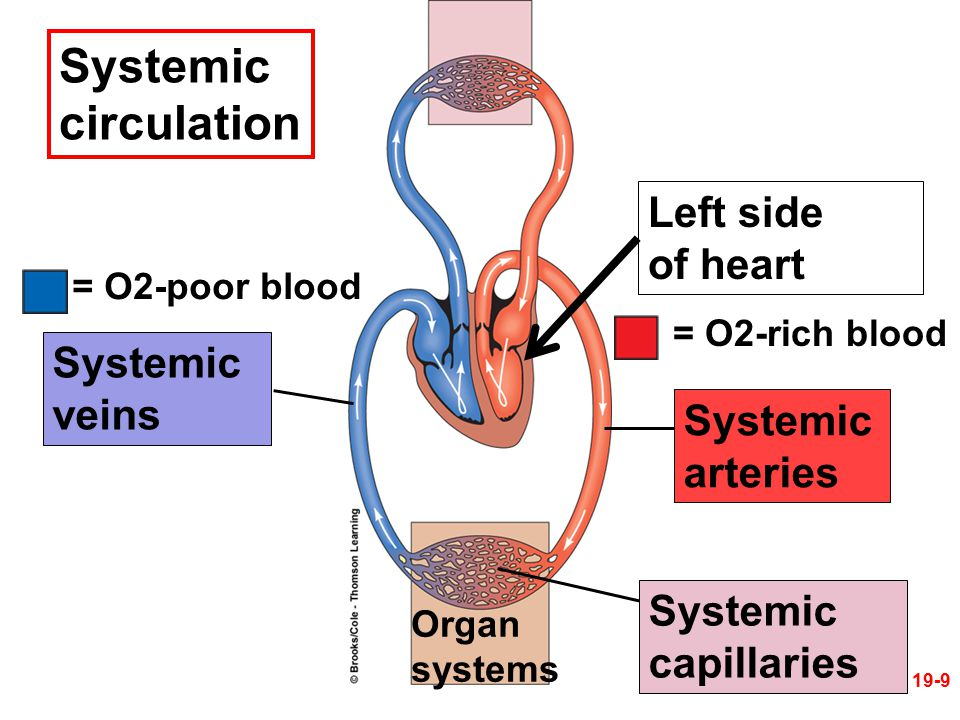 Systemic circulation Left side of heart Systemic veins Systemic