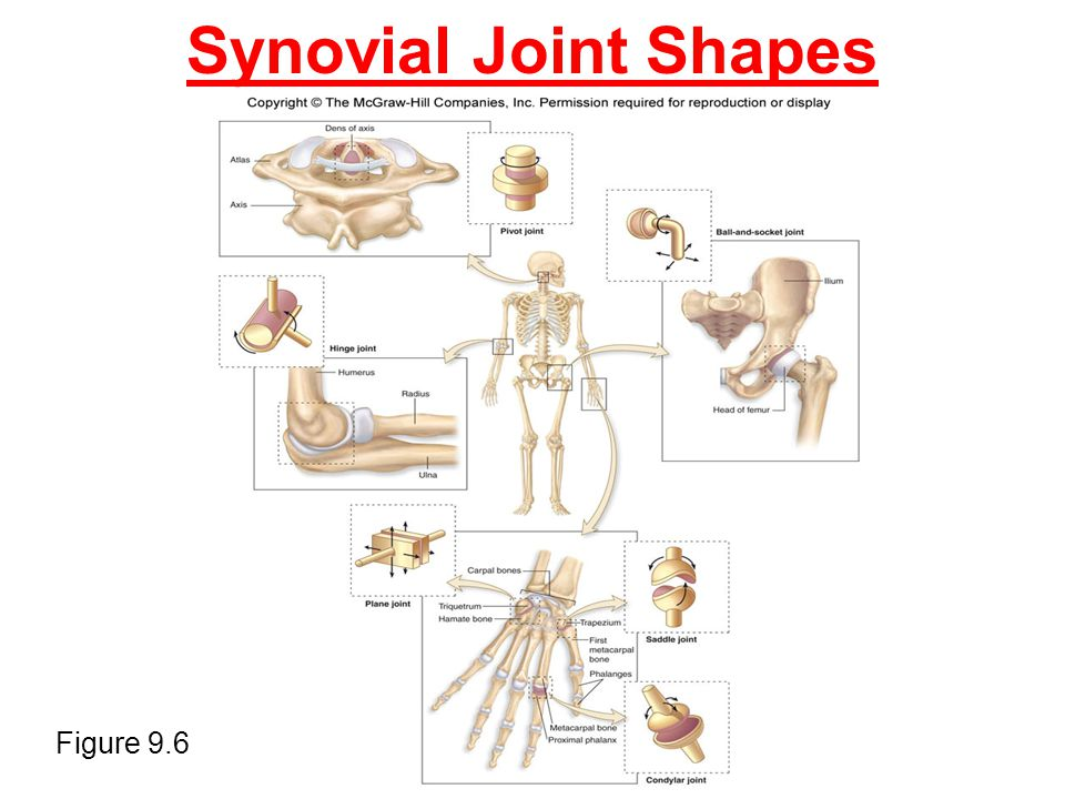 Synovial Joint Shapes Figure 9.6
