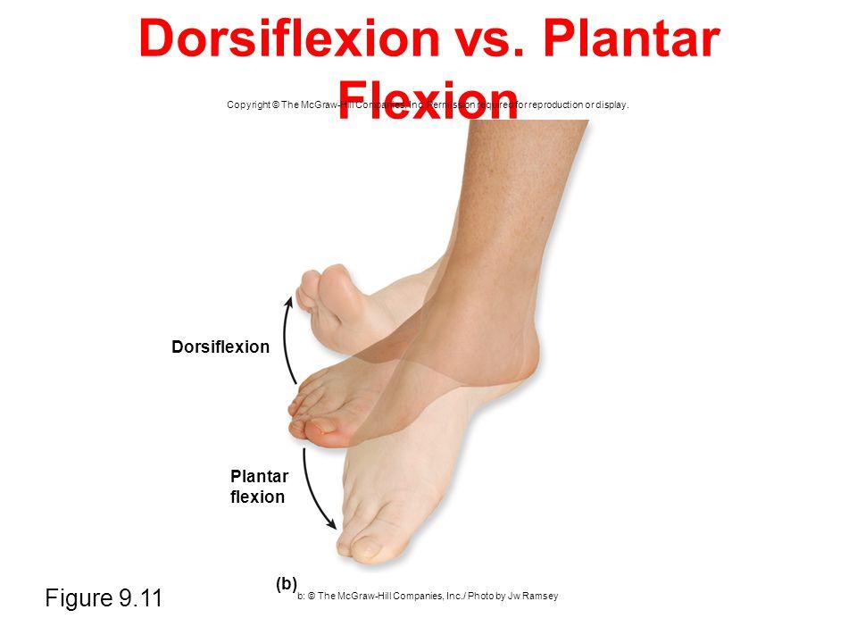 Dorsiflexion vs. Plantar Flexion