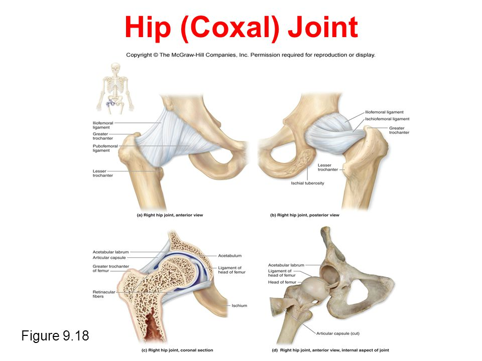 Hip (Coxal) Joint Insert Figure 9.18a,b,c and d Figure 9.18