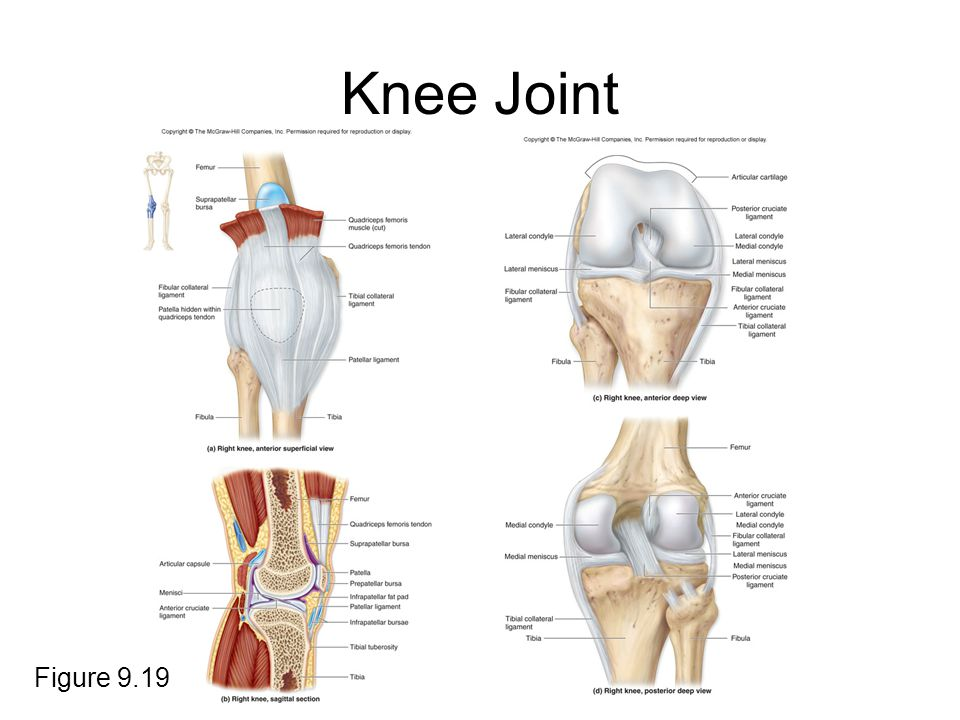 Knee Joint Figure 9.19