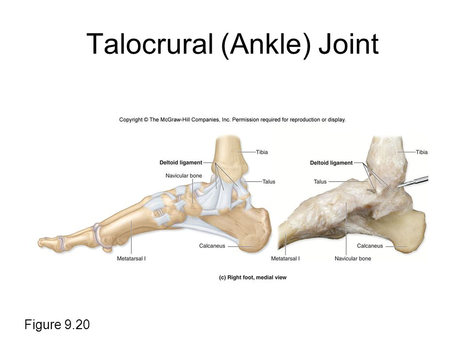 Talocrural (Ankle) Joint