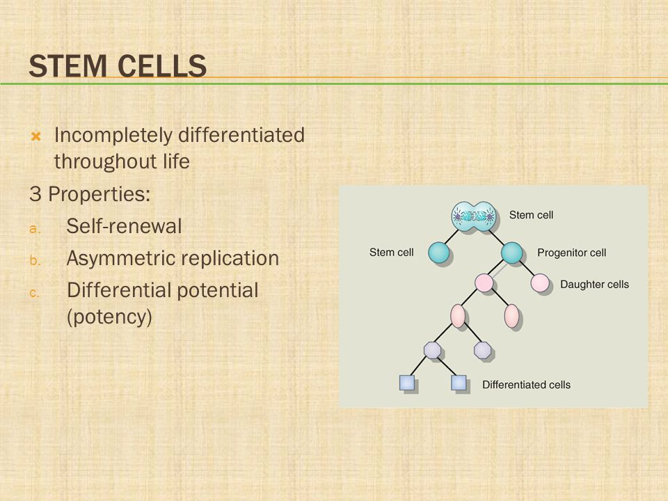 Stem Cells Incompletely differentiated throughout life 3 Properties: