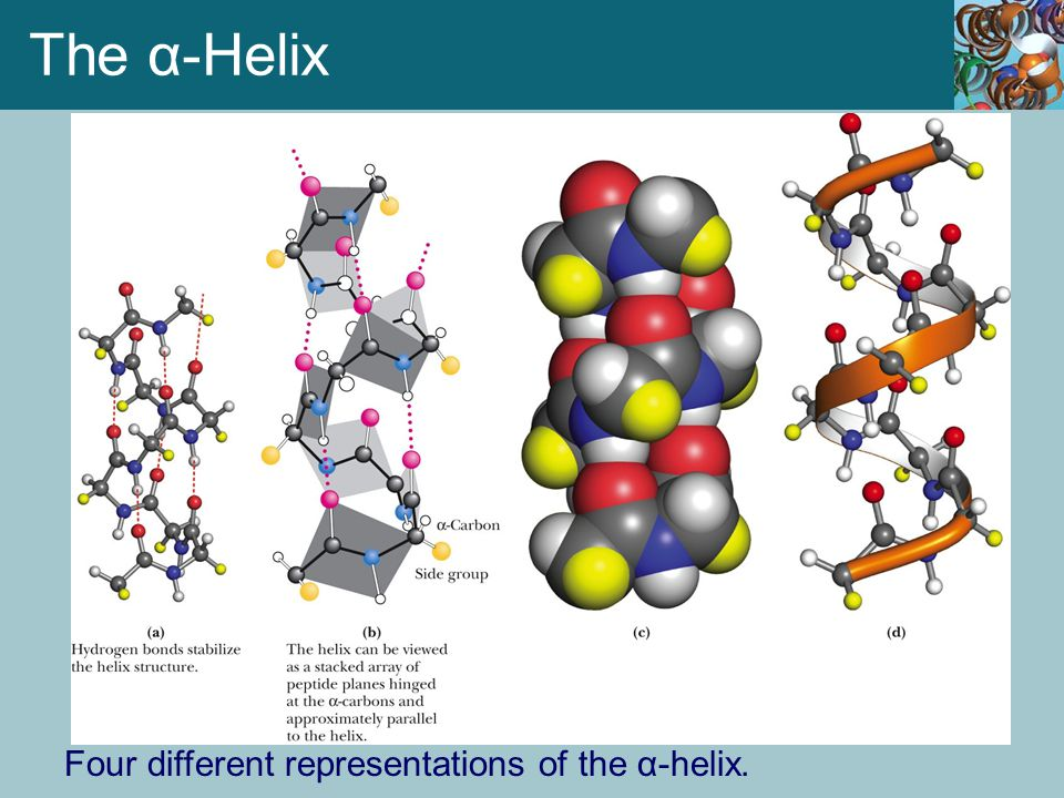 The α-Helix Four different representations of the α-helix.