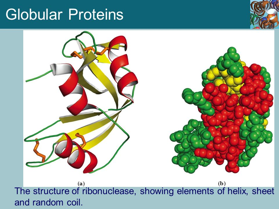 Globular Proteins The structure of ribonuclease, showing elements of helix, sheet and random coil.