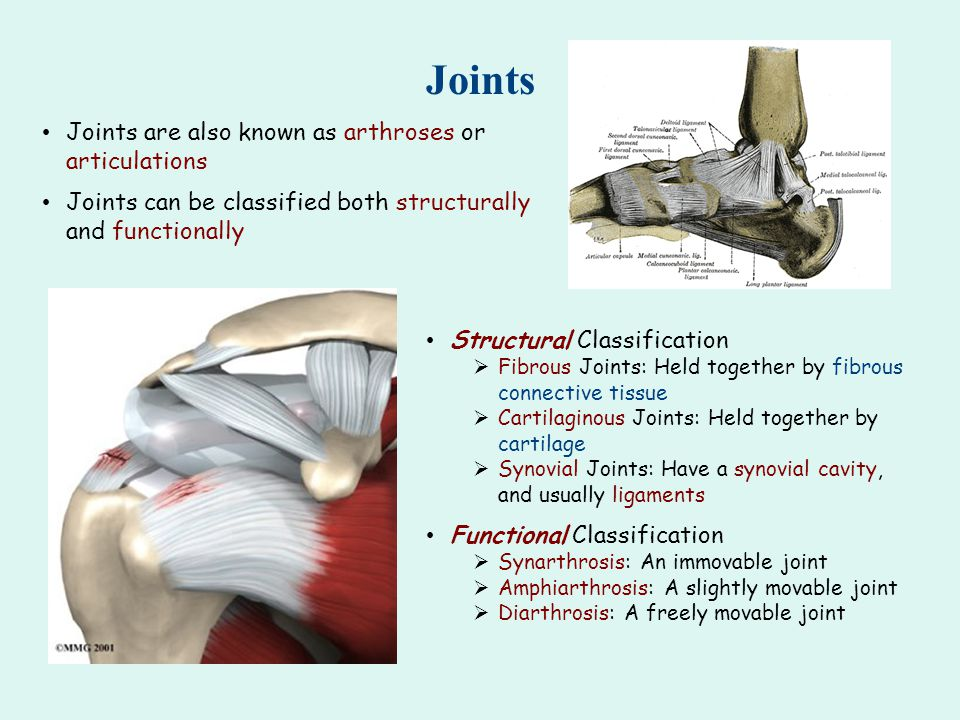 Joints Joints are also known as arthroses or articulations
