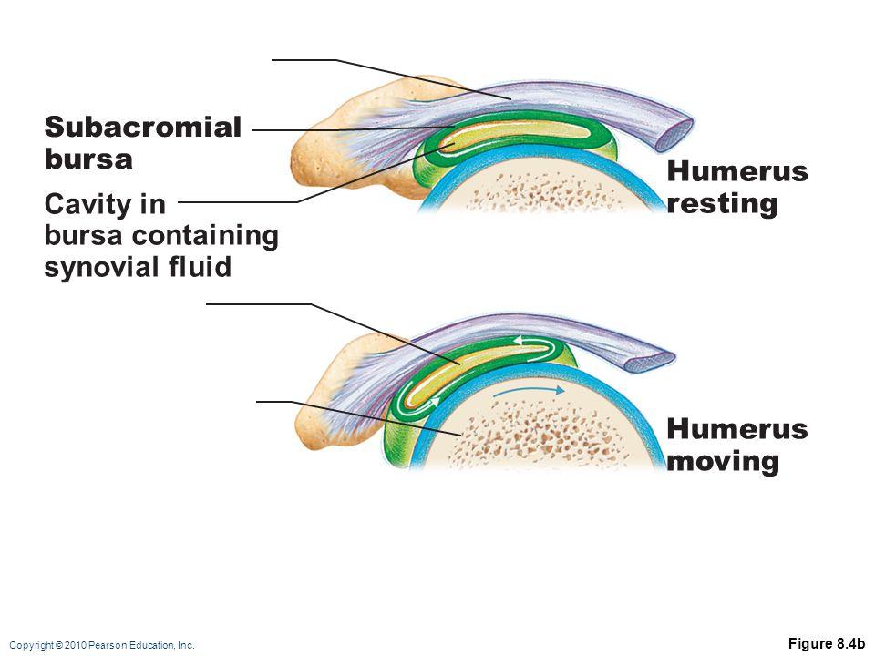 Subacromial bursa Humerus resting Cavity in bursa containing