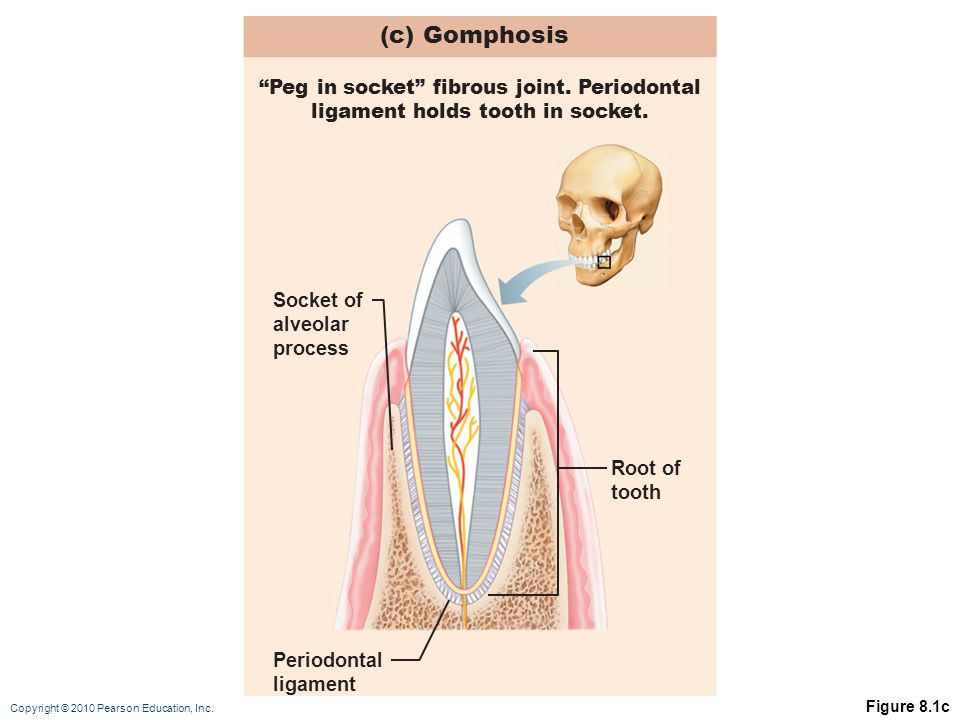 (c) Gomphosis Peg in socket fibrous joint. Periodontal