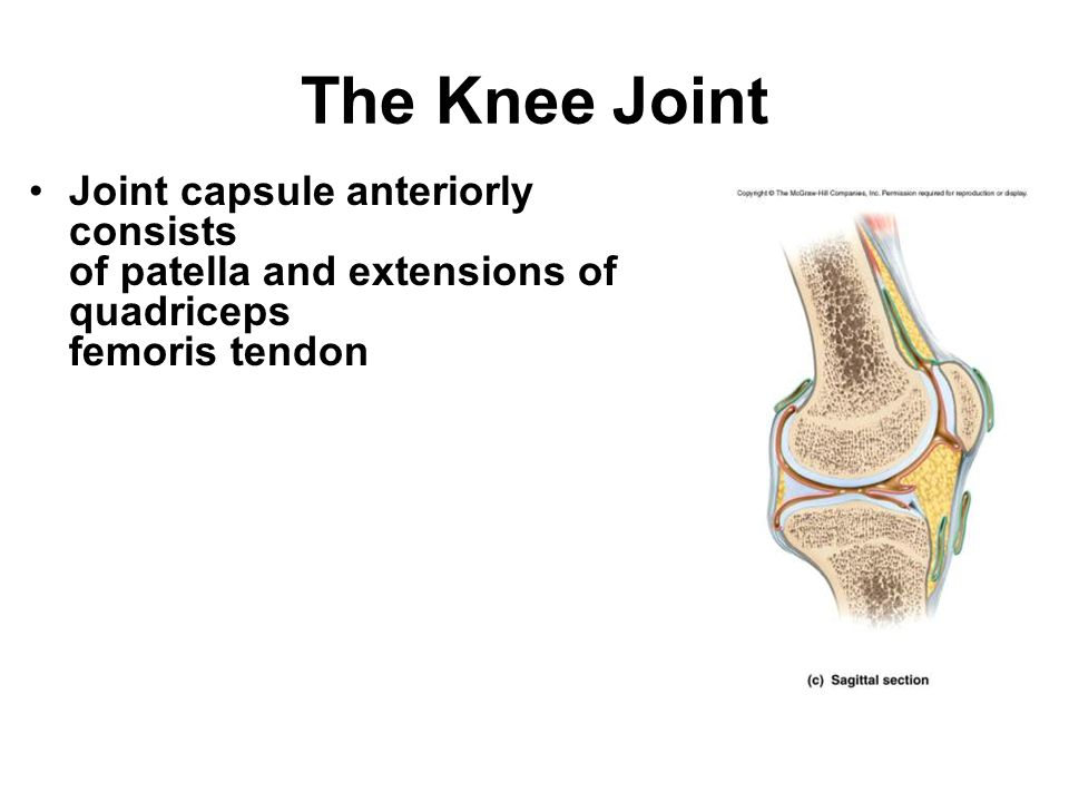 The Knee Joint Joint capsule anteriorly consists of patella and extensions of quadriceps femoris tendon.
