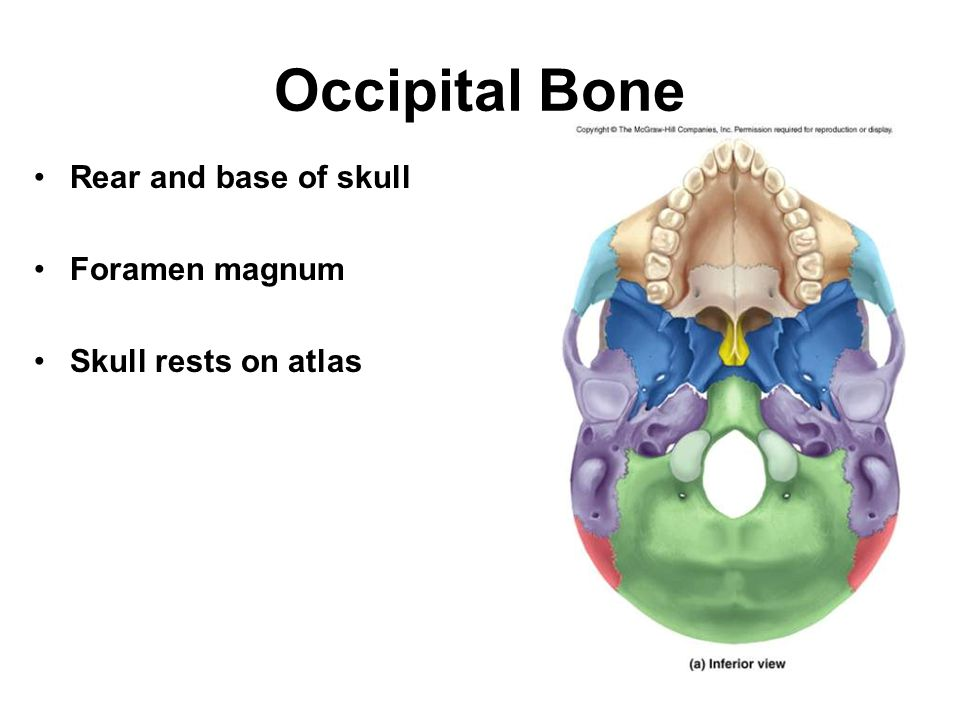 Occipital Bone Rear and base of skull Foramen magnum